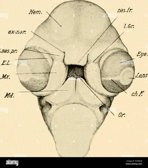 small resolution of development of the chick an introduction to embryology birds embryology 216 the development of the chick