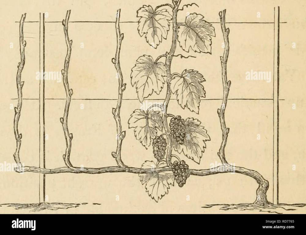 medium resolution of viticulture 130 culture of the grape winter it is true a vine with the two arms can be bent backwards to the ground so that the trunk