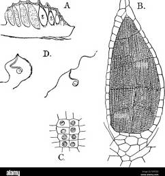 the structure and development of mosses and ferns archegoniatae plant morphology mosses ferns muscine hepa ticje march ant i ales si seated as  [ 1260 x 1390 Pixel ]