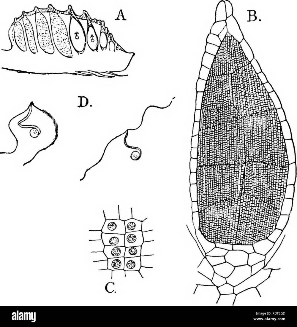 medium resolution of  the structure and development of mosses and ferns archegoniatae plant morphology mosses ferns muscine hepa ticje march ant i ales si seated as