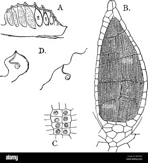 small resolution of  the structure and development of mosses and ferns archegoniatae plant morphology mosses ferns muscine hepa ticje march ant i ales si seated as