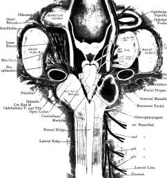 elementary text book of zoology plate iii the cranial nerves of  [ 1079 x 1390 Pixel ]
