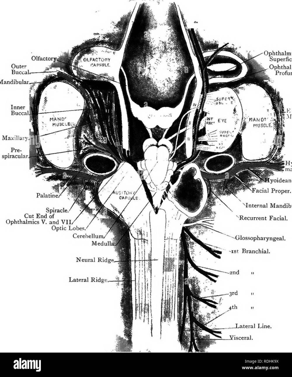 medium resolution of elementary text book of zoology plate iii the cranial nerves of