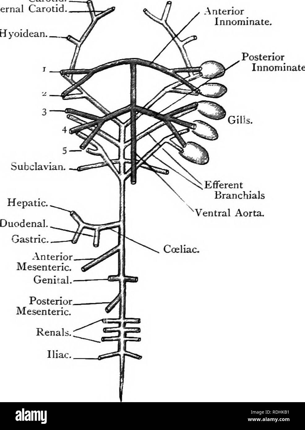 medium resolution of 3i6 chord at a are lined by a peritoneum or thin membrane and contain a colourless coelomic fluid the ccelom communicates by the abdominal pores with the