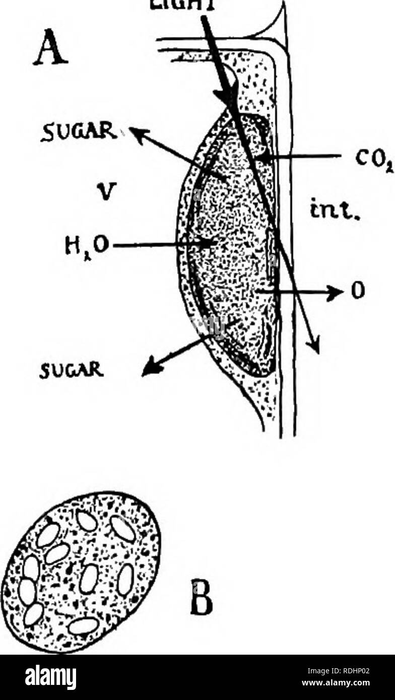 mesophyll cell diagram boat battery disconnect switch wiring palisade cells stock photos elements of plant biology physiology light tn t fig 11