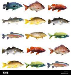 15 fish in a chart on white background stock image [ 1300 x 1390 Pixel ]
