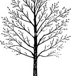 trees fig 8 diagram from a photo graph of a norway maple show ing the very dense crown common with this species the foliage produced makes a  [ 915 x 1390 Pixel ]
