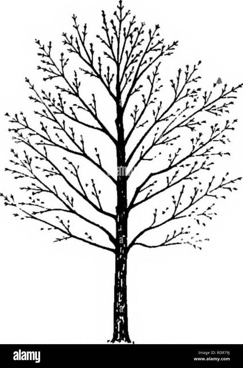 small resolution of trees fig 8 diagram from a photo graph of a norway maple show ing the very dense crown common with this species the foliage produced makes a