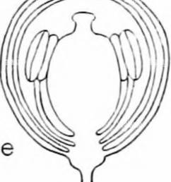 capsella bursa astoris shepherd s purse a type page of student s laboratory book a entire plant b a flower enlarged c longitudinal diagram  [ 1062 x 1390 Pixel ]