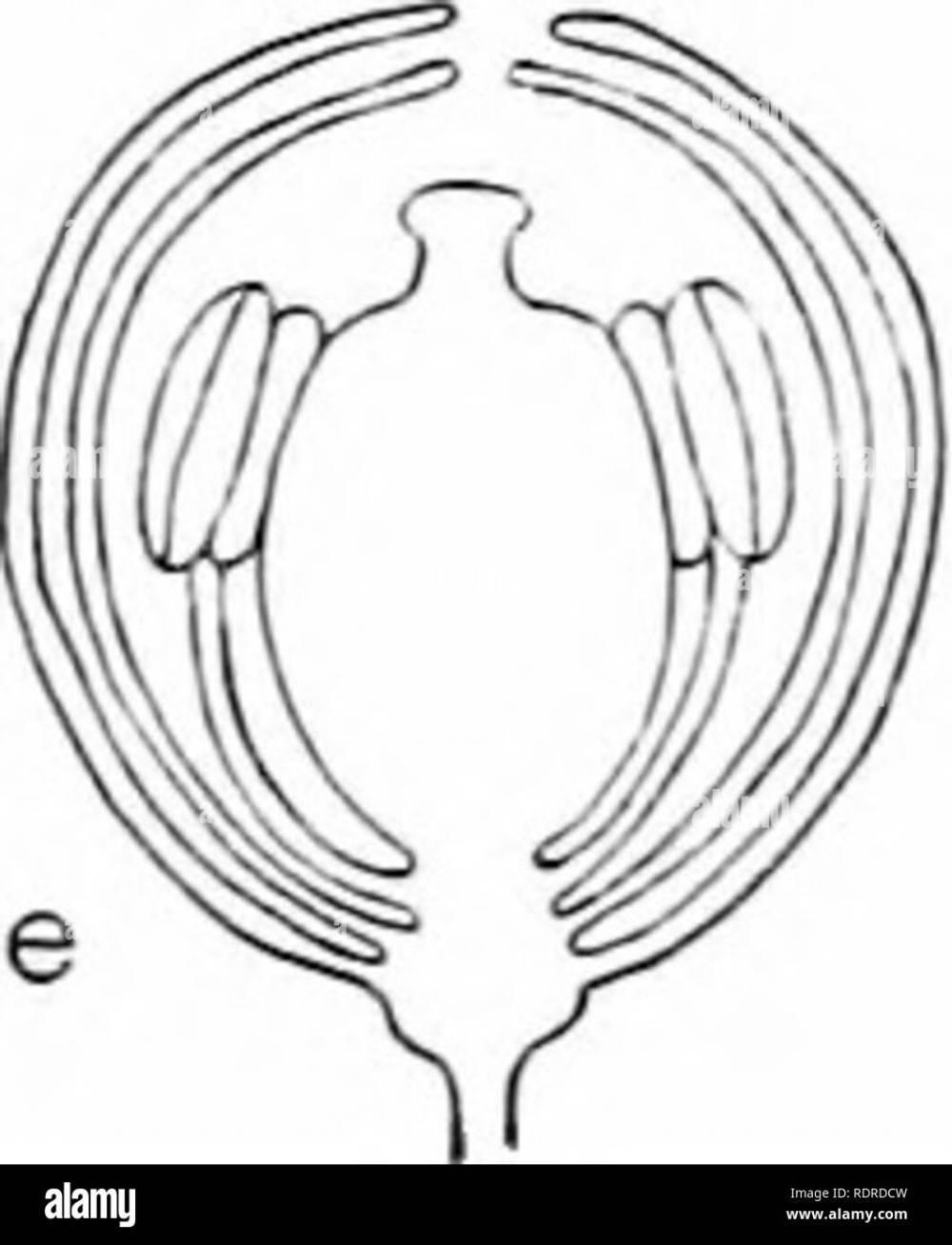 medium resolution of  capsella bursa astoris shepherd s purse a type page of student s laboratory book a entire plant b a flower enlarged c longitudinal diagram