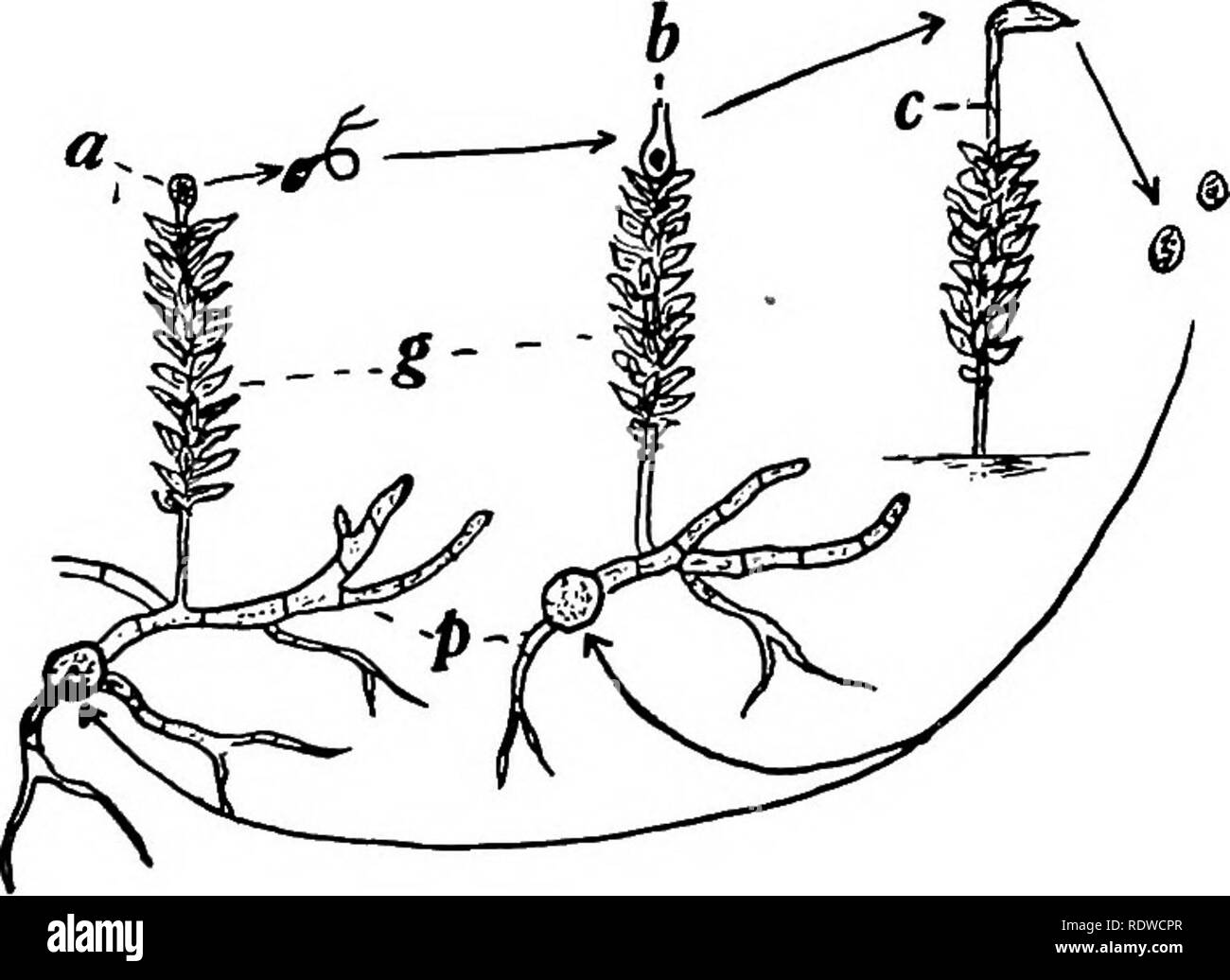 hight resolution of botany with agricultural applications botany true mosses bryales 421 cycle