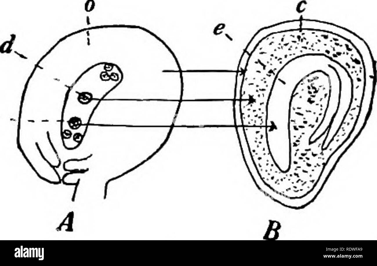 hight resolution of a diagrammatic section of an ovule of the tomato in whicli the egg 6 and primary endosperm nucleus d have been fertilized o