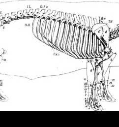 the anatomy of the domestic animals veterinary anatomy skeleton of the pig vertebral column  [ 1300 x 723 Pixel ]