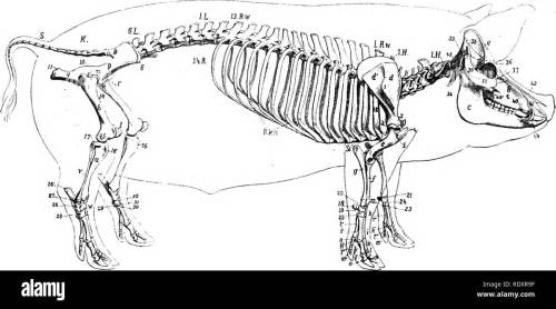 small resolution of the anatomy of the domestic animals veterinary anatomy skeleton of the pig vertebral column