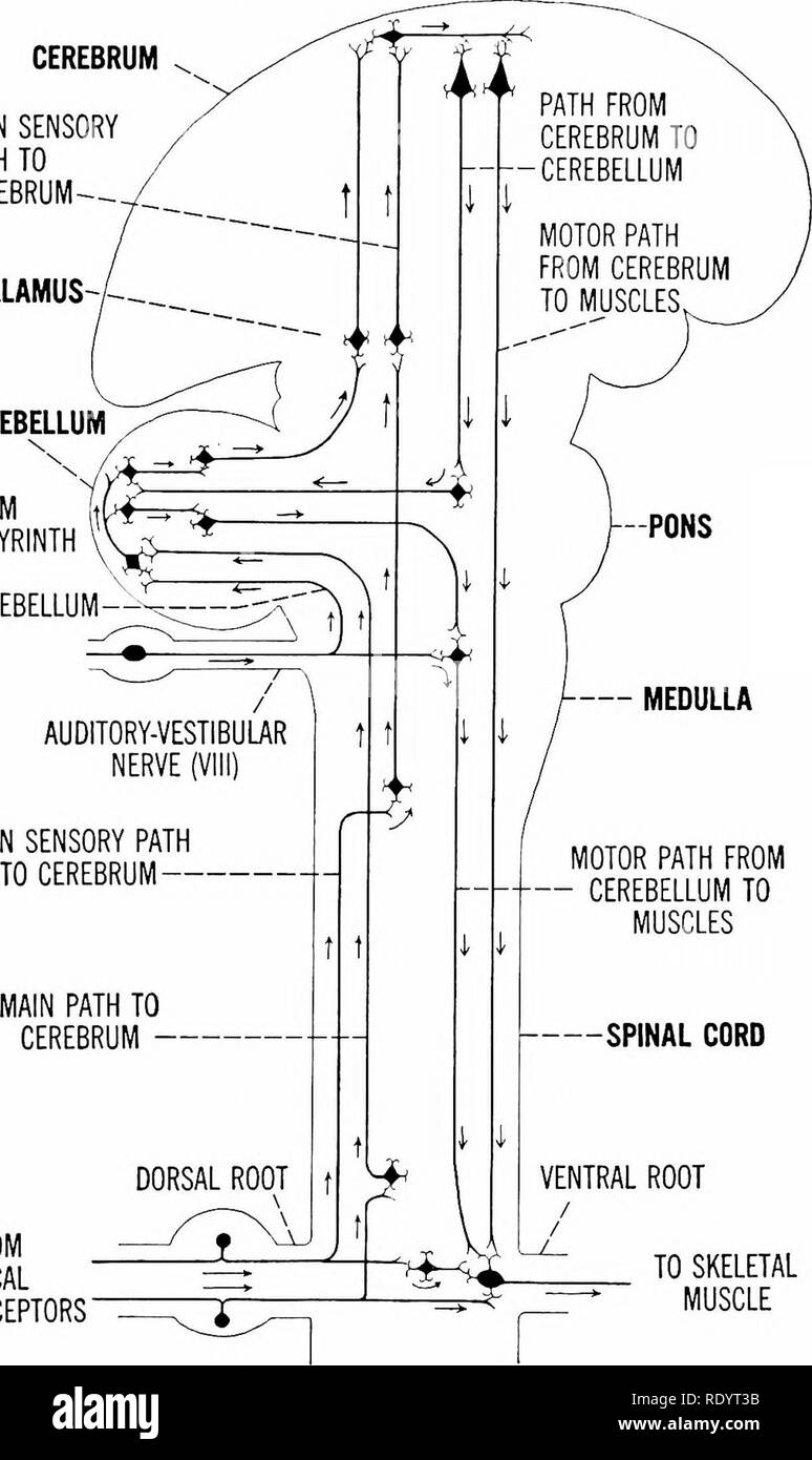 medium resolution of principles of modern biology biology responses of higher animals the nervous system