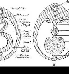 ventral mesentery lesser omentum dorsal mesogasirium dorsal pancreas mesentery mesocolon mesorectum fig 182 diagram showing the primitive mesenteries  [ 1300 x 867 Pixel ]