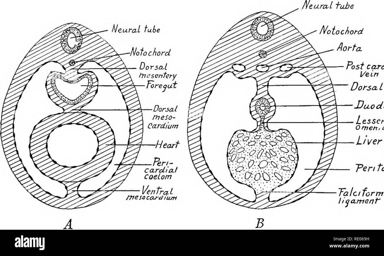 hight resolution of ventral mesentery lesser omentum dorsal mesogasirium dorsal pancreas mesentery mesocolon mesorectum fig 182 diagram showing the primitive mesenteries