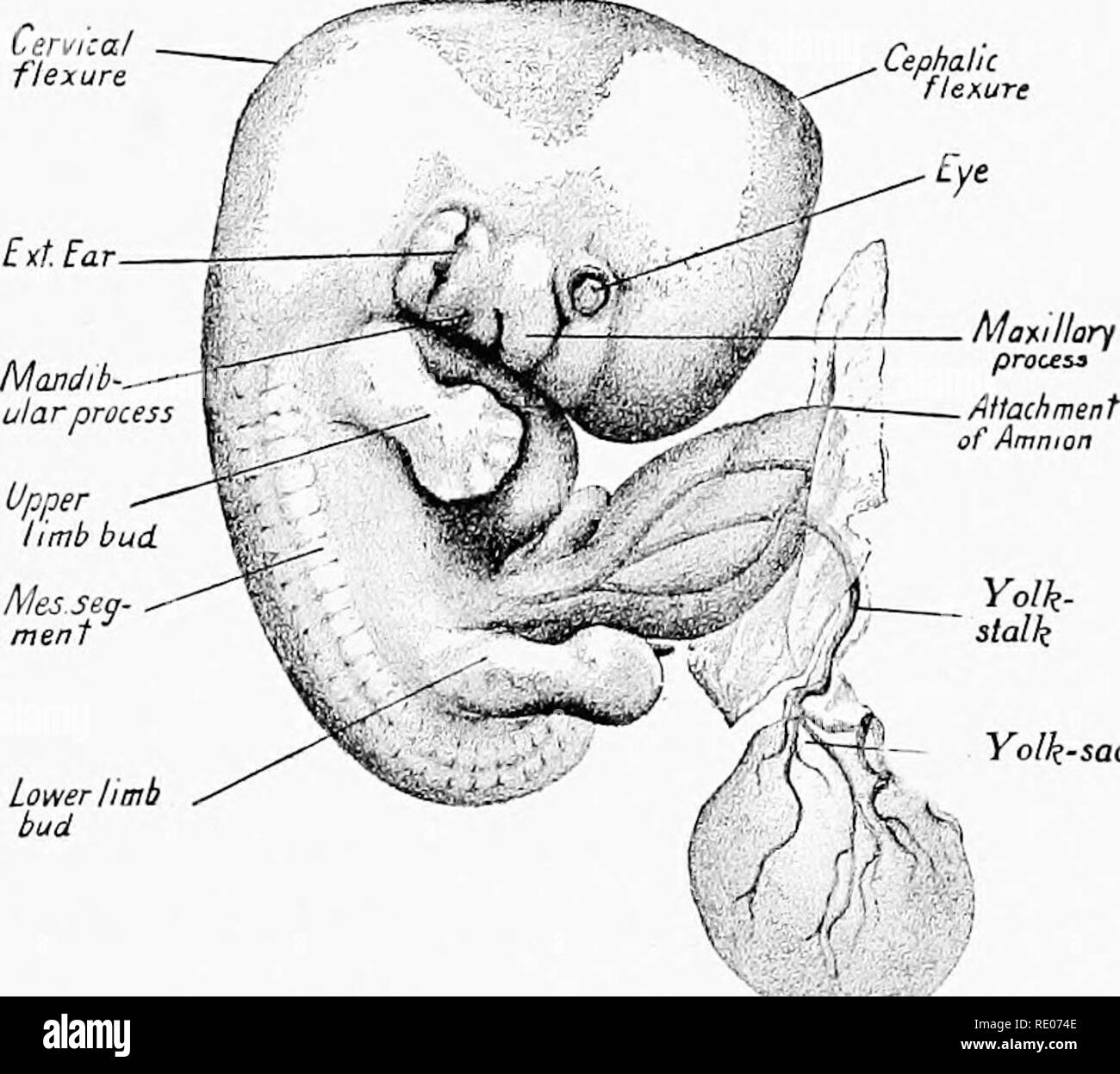 hight resolution of a laboratory manual and text book of embryology embryology cephalic flexure eye