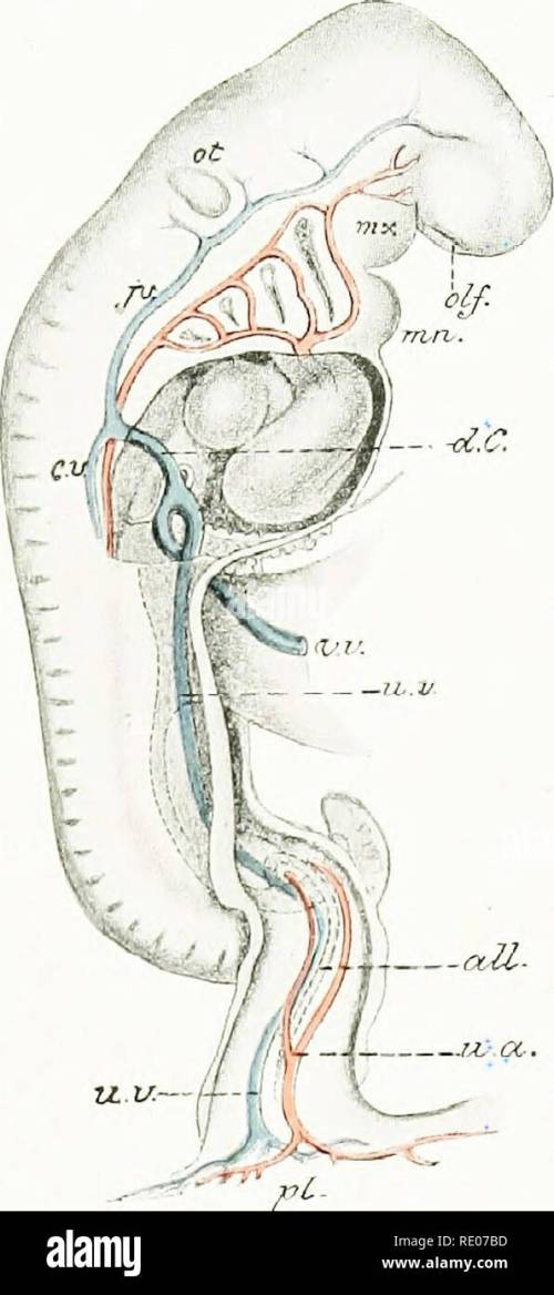 small resolution of a laboratory manual and text book of embryology embryology y aortic arches
