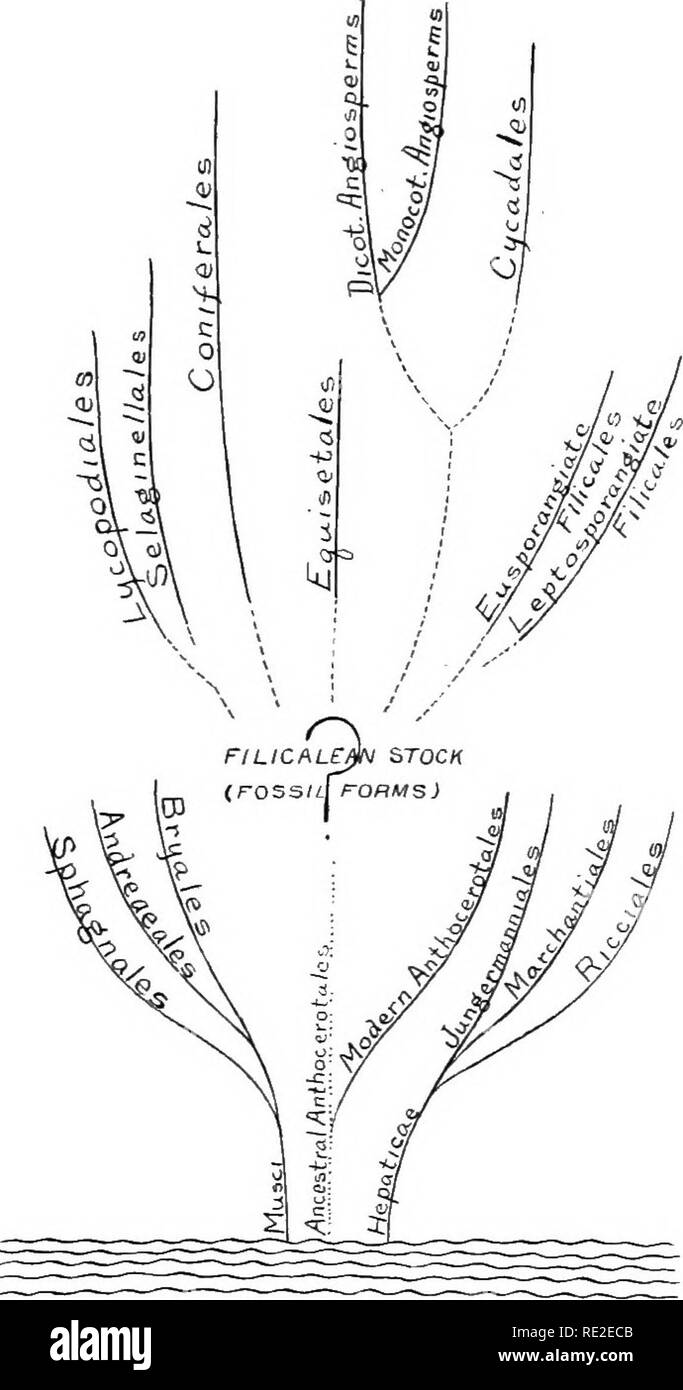 medium resolution of hypothetical genealogical tree to illustrate the probable affini ties of the modern plant orders this diagram
