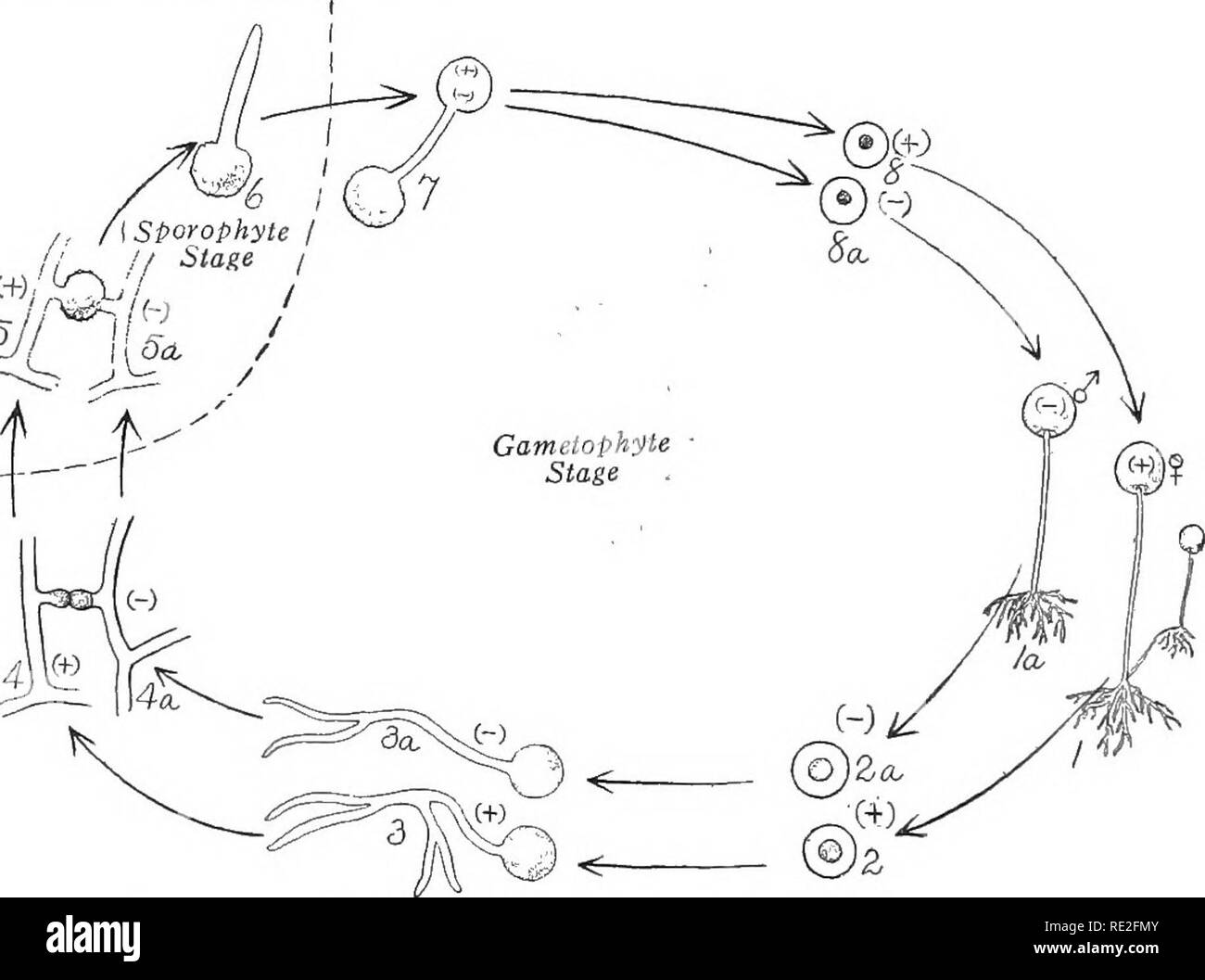 hight resolution of  fundamentals of botany botany 266 structure and life histories shown in fig 191 which illustrates the result of growing mycelia from unlike strains