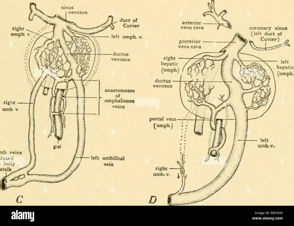 medium resolution of diagrams showing the development of the hepatic portal circulation from the omphalomesenteric veins and the relations of the umbilical veins to the liver