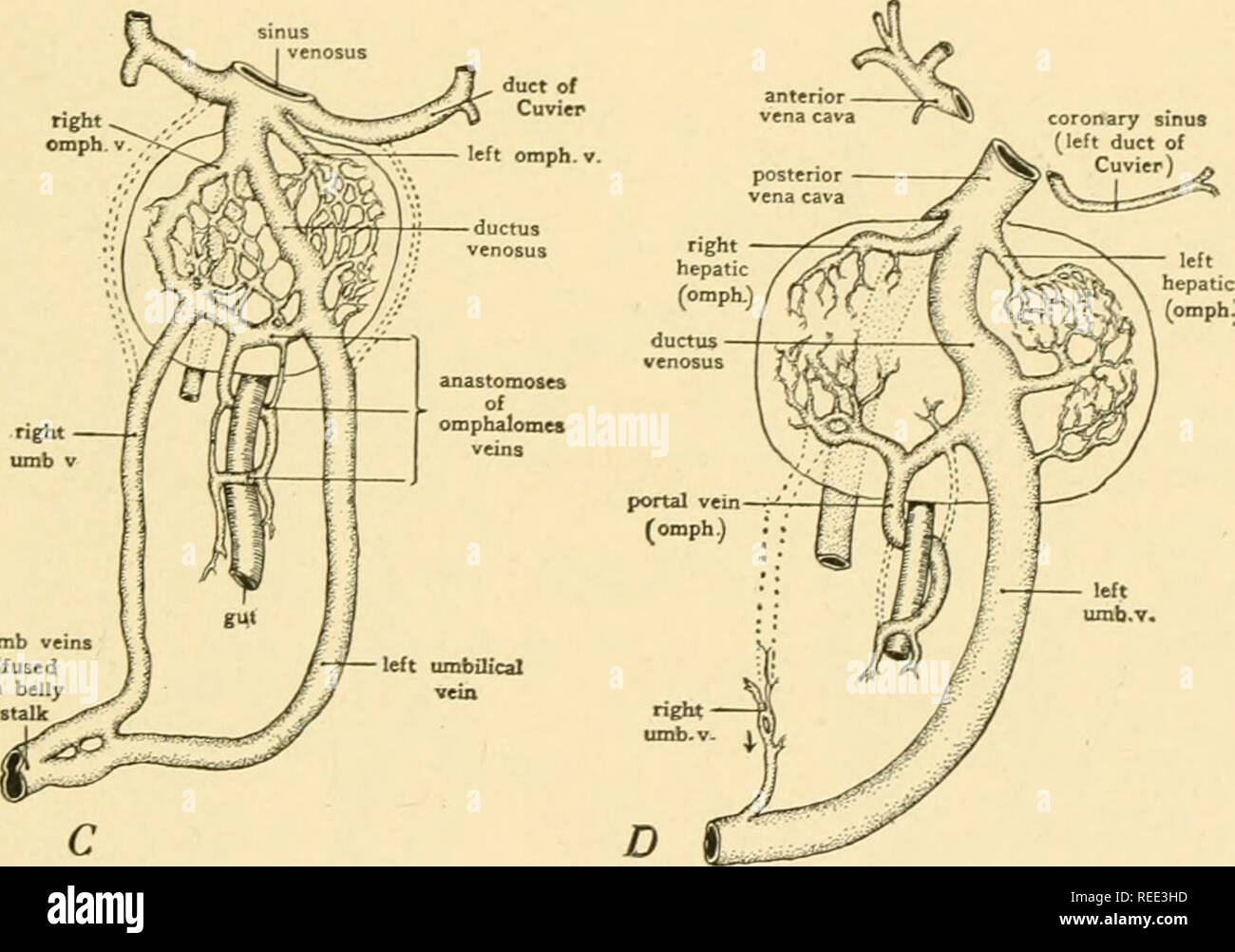 hight resolution of diagrams showing the development of the hepatic portal circulation from the omphalomesenteric veins and the relations of the umbilical veins to the liver