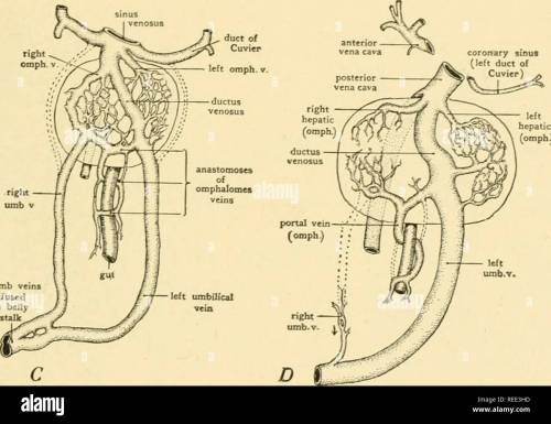 small resolution of diagrams showing the development of the hepatic portal circulation from the omphalomesenteric veins and the relations of the umbilical veins to the liver