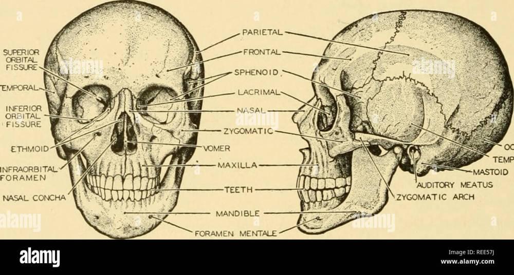 medium resolution of comparative anatomy anatomy comparative nasal concha occipital temporal mastoid process auditory