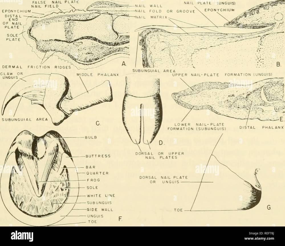 medium resolution of comparative embryology of the vertebrates with 2057 drawings and photos grouped as 380