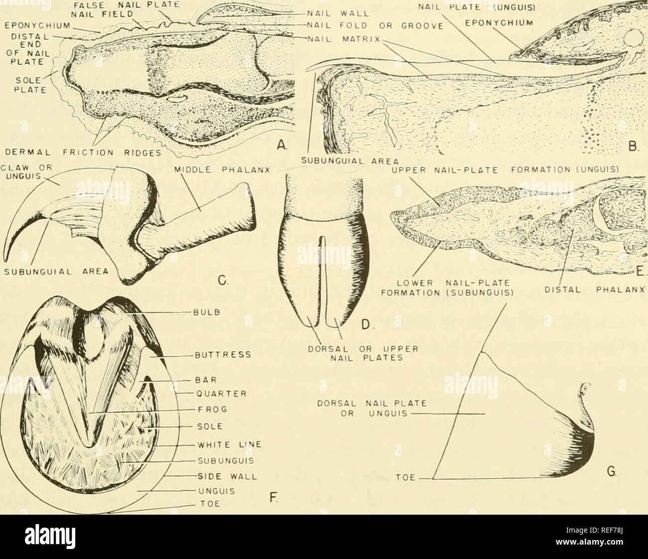 hight resolution of comparative embryology of the vertebrates with 2057 drawings and photos grouped as 380