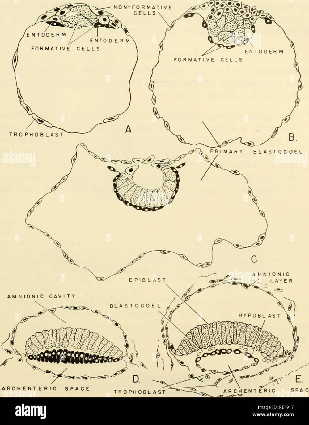 medium resolution of  comparative embryology of the vertebrates with 2057 drawings and photos grouped as 380 illus vertebrates embryology comparative embryology