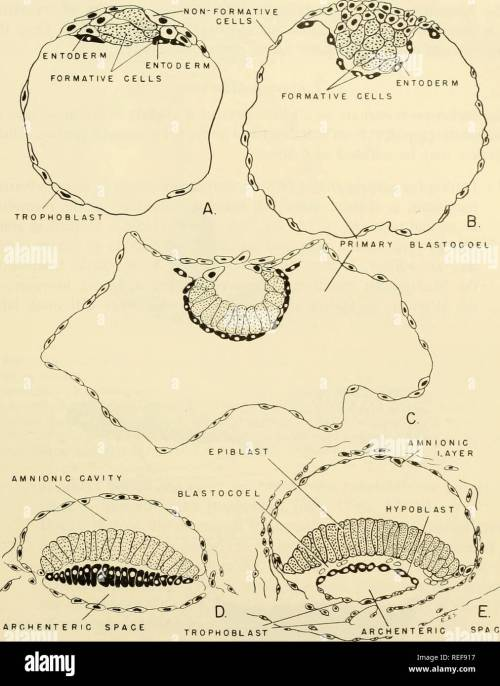 small resolution of  comparative embryology of the vertebrates with 2057 drawings and photos grouped as 380 illus vertebrates embryology comparative embryology