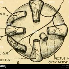 Diagram Of The Left Eye Dta S40 Pro Wiring Comparative Anatomy Sup Rectus Oculomotork Tf Ocmleabis M Osliquus Sur Ext Fig 219 Diagrams Muscles Man A Shows Ball And