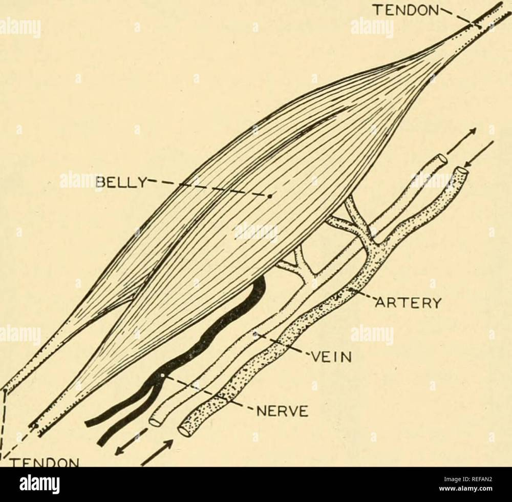 medium resolution of chapter 7 the muscular system the muscular system of an active vertebrate makes up nearly half the entire body weight in man shghtly more than forty per