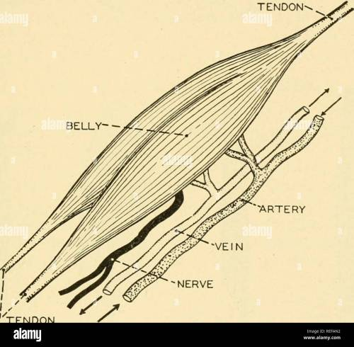 small resolution of chapter 7 the muscular system the muscular system of an active vertebrate makes up nearly half the entire body weight in man shghtly more than forty per