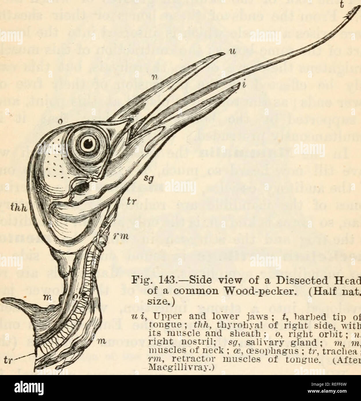 hight resolution of comparative anatomy and physiology chap ix skull of birds which
