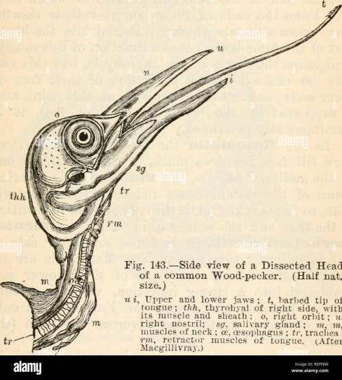 small resolution of comparative anatomy and physiology chap ix skull of birds which
