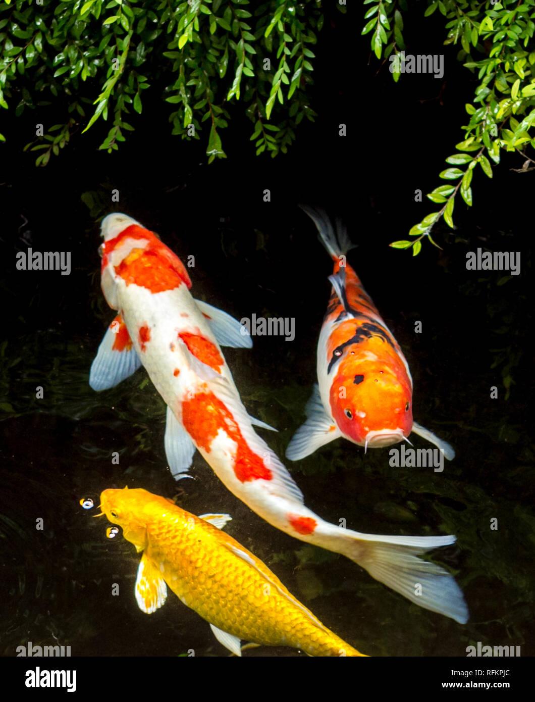Koi Fish Pics : Colorful, Stock, Photo, Alamy