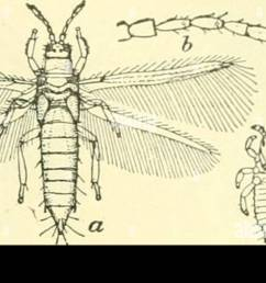 science collecting and pkeserving insects banks 17 fig 29 one of the thysanoptera thrips tabaci a adult 6 antenna of same c young larva d  [ 1300 x 672 Pixel ]