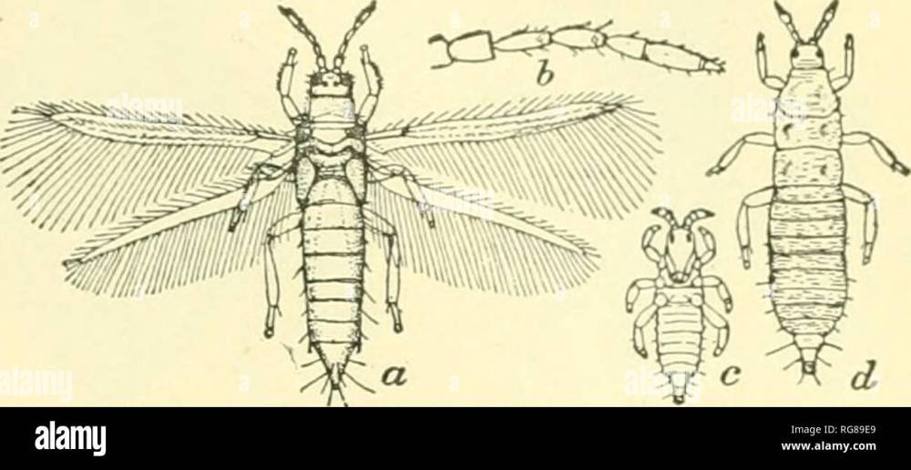 medium resolution of science collecting and pkeserving insects banks 17 fig 29 one of the thysanoptera thrips tabaci a adult 6 antenna of same c young larva d