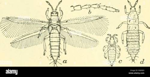 small resolution of science collecting and pkeserving insects banks 17 fig 29 one of the thysanoptera thrips tabaci a adult 6 antenna of same c young larva d
