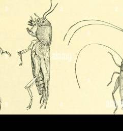bulletin united states national museum science fig 14 the katydid cyrtopuyllvs per spicillatus fig 15  [ 1300 x 715 Pixel ]