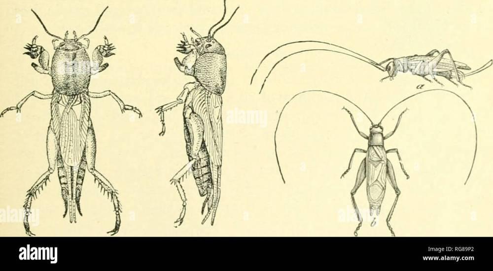 medium resolution of  bulletin united states national museum science fig 14 the katydid cyrtopuyllvs per spicillatus fig 15