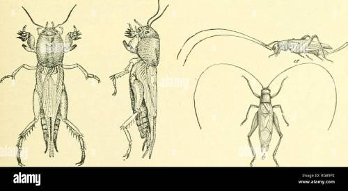 small resolution of  bulletin united states national museum science fig 14 the katydid cyrtopuyllvs per spicillatus fig 15