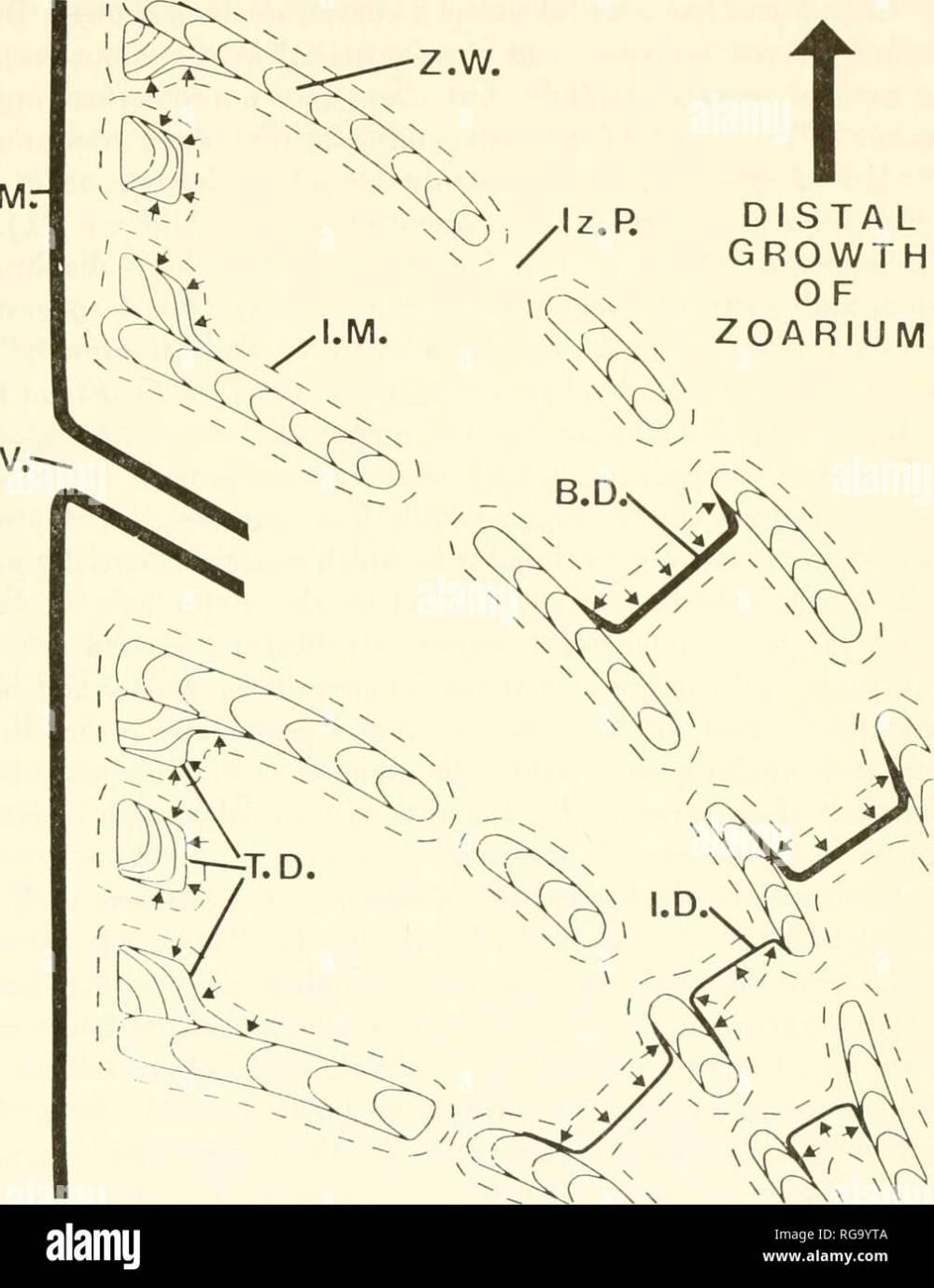 medium resolution of bulletins of american paleontology cerioporid cyclostomes bryozoa nye 29 o