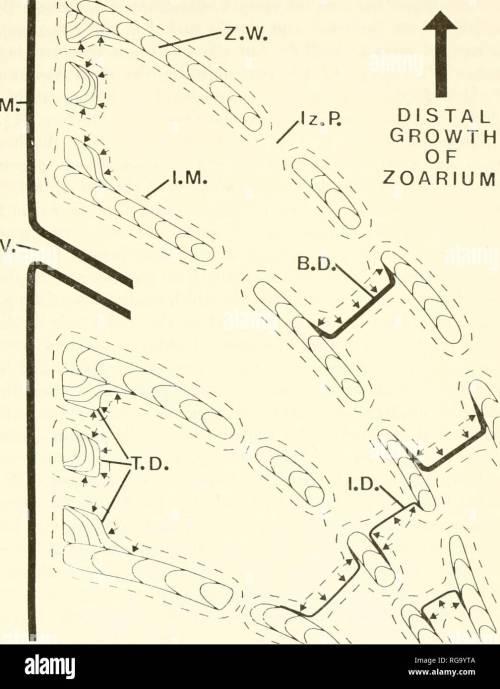 small resolution of bulletins of american paleontology cerioporid cyclostomes bryozoa nye 29 o