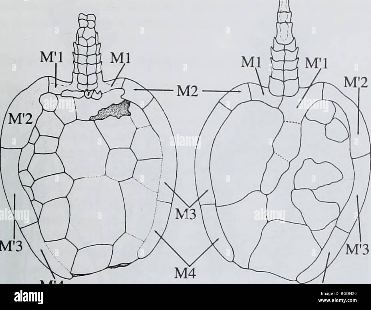 hight resolution of m 3 m 4 m 4 b fig 10 beryllia iniranda cripps amp daley middle ordovician llandeilo pissot formation france schematic reconstruction