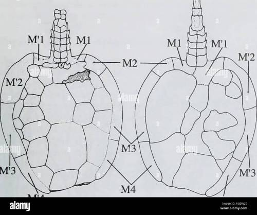 small resolution of m 3 m 4 m 4 b fig 10 beryllia iniranda cripps amp daley middle ordovician llandeilo pissot formation france schematic reconstruction