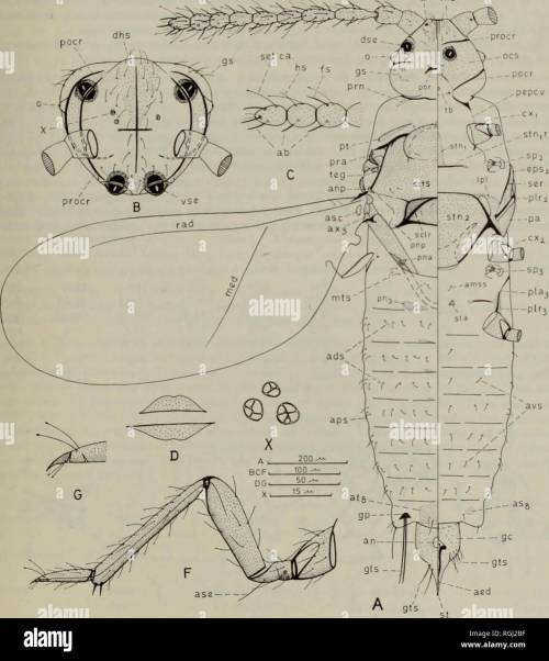 small resolution of apex occipital diagram wiring diagrams schemabulletin of the british museum natural history entom supp